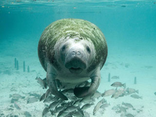 Manatee with School of Fish
